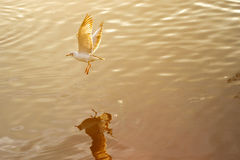 Seagull with sunset. In the background at Thailand Royalty Free Stock Images