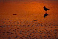 Seagull on sunset beach. Silhouetted seagull on rippled sandy beach during orange sunset Royalty Free Stock Photos