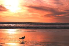Seagull in sunset. Seagull on a beach by the Pacific in sunset Royalty Free Stock Photo