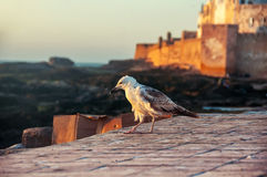 Seagull at sunset in Essaouira Royalty Free Stock Image
