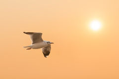 Seagull at sunset Stock Photos