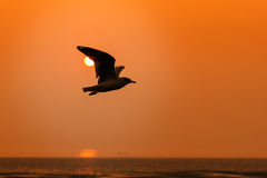 Seagull at sunset Royalty Free Stock Photography