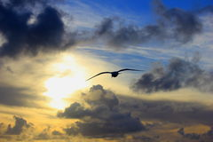 Seagull at Sunset. Seagull flying in an evening sunset Royalty Free Stock Images