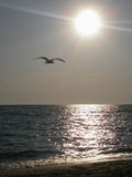 Seagull at sunset. A lone seagull flying in the clear sky at sunset Stock Image