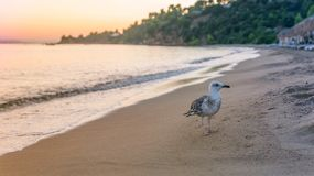 Seagull at sunset. A seagull on the beach at sunset. Platanias beach, Skiathos island, Greece, 2018 royalty free stock image