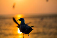 Seagull at sunset Stock Photo