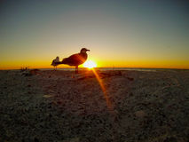 Seagull sunset. Seagull standing on the beach wathcing as the golden sunsets into the ocean Stock Images