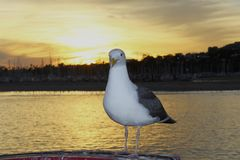 Seagull in sunset Stock Image