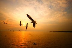 Seagull with sunset in Thailand Royalty Free Stock Photos