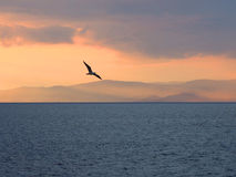 Seagull at Sunset Stock Images