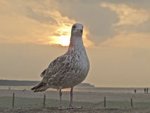Seagull at sunset Royalty Free Stock Photos