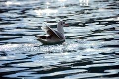 Seagull in the sunshine Stock Photo