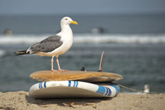 Seagull on surf board on sandy beach Stock Images