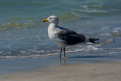 Seagull by surf Stock Photo