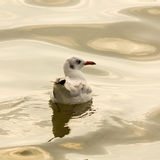 The seagull. Stock Photography