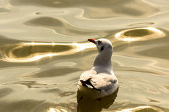 The seagull. Royalty Free Stock Photography