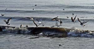 Seagull Surfing. Young gulls surfing the waves at the beach Stock Images