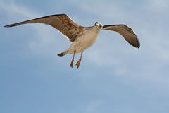 Seagull surprised Royalty Free Stock Photos