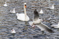 Seagull and swan  on lake Stock Photos