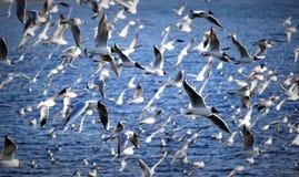Seagull swarm Stock Photo