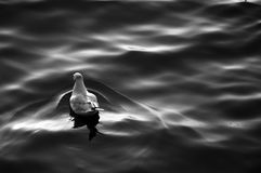 Seagull swiming in the sea, Monochrome color Royalty Free Stock Image
