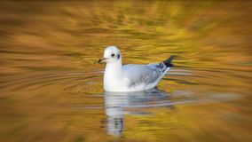 Seagull swimming in autumn colours