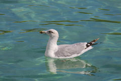 Seagull swimming Stock Photography