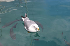 Seagull Swimming with the Fish Royalty Free Stock Photos