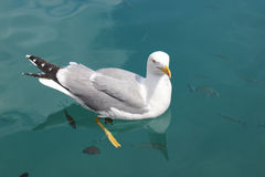 Seagull Swimming with the Fish Royalty Free Stock Images