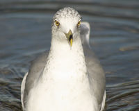 Seagull swimming forwards with eyes staring straight ahead into camera Royalty Free Stock Photography