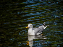 Seagull swimming Royalty Free Stock Image