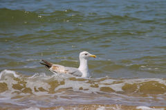 Seagull swimming in the North sea in Zandvoort, the Netherlands Stock Image