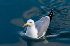 Seagull swimming Royalty Free Stock Photos