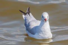 Seagull swimming Stock Photos