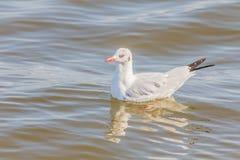 Seagull swimming Stock Image