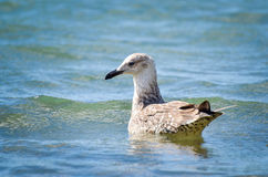 Seagull is swimming in the sea. Young seagull is swimming in the sea royalty free stock photo