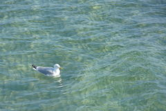 Seagull swimming on the water. Background Royalty Free Stock Images