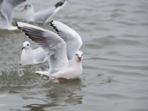 Seagull swimming in the water Royalty Free Stock Photography