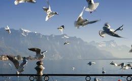 Seagull on swiss lake. In Vevey costline on Geneva lake Stock Photo