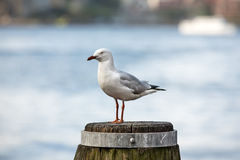 Seagull at Sydney Harbour Stock Photos