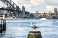 Seagull at Sydney Harbour Royalty Free Stock Image