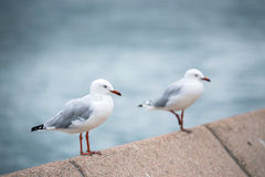 Seagull. At Sydney Opera House Royalty Free Stock Photos