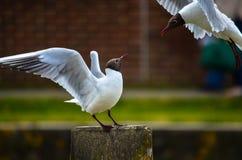 Seagull szturmany przy sztuką z skrzydłami szeroko otwarty obrazy stock