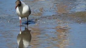 Seagull szuka jedzenie zdjęcia royalty free