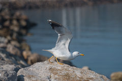 Seagull take off. Seagull with yellow legs takeoff from the rocky cost, in front of the sea Stock Photography