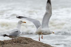 Seagull take off in front of the ocean. Two sea gulls on a rock in the front of the sea, one is taking-off Stock Images