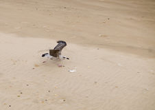 Seagull Take Off. A Seagull takes off on a sandy beach near Sunderland in the UK royalty free stock photos