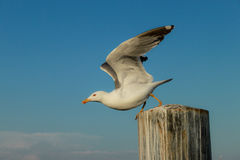 Seagull takeoff Stock Photo