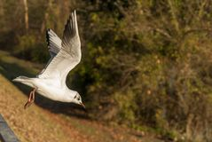 Seagull takeoff. Scared Seagull takeoff to a safe place from other birds por enemy Stock Image