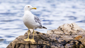 Seagull takes off from the sea. Stock Images